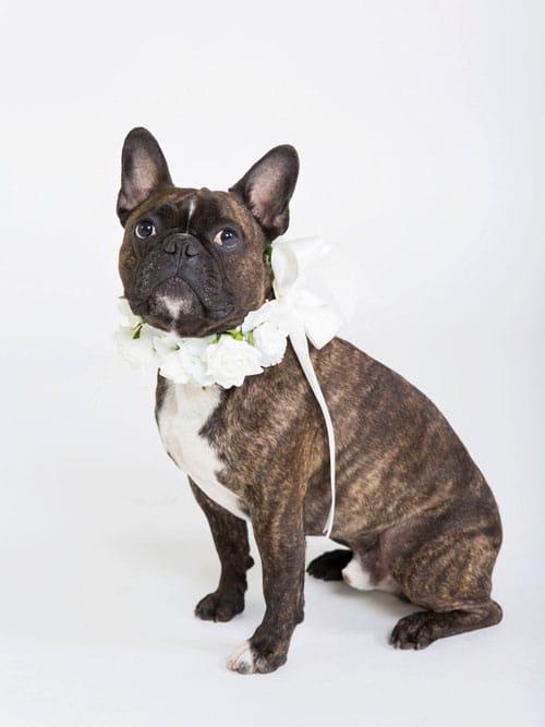collier-de-fleurs-pour-chien-pour-mariage_2