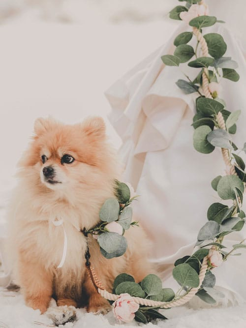 collier-de-fleurs-pour-chien-pour-mariage_3